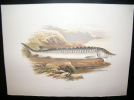 Houghton 1879 Folio Antique Fish Print. Sturgeon